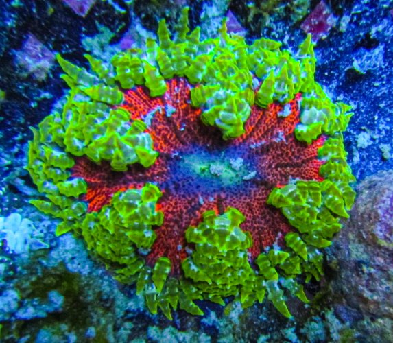 Rock Flower Anemone-2.jpg