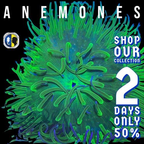 anemone deal.jpg