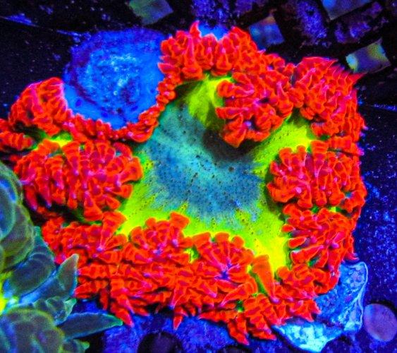 Ultra Rock Flower Anemone 11.JPG