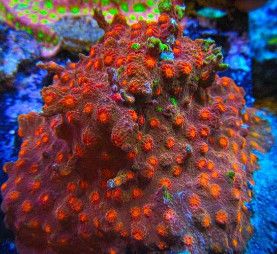 UC Grafted Hellfire Cyphastrea Colony.JPG