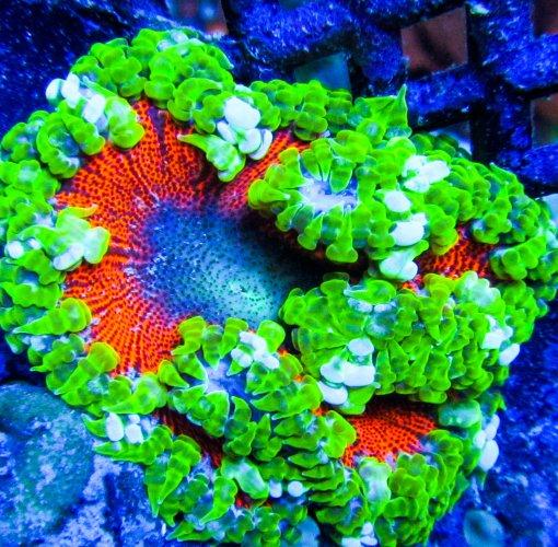 Ultra Rock Flower anemones _2733.JPG